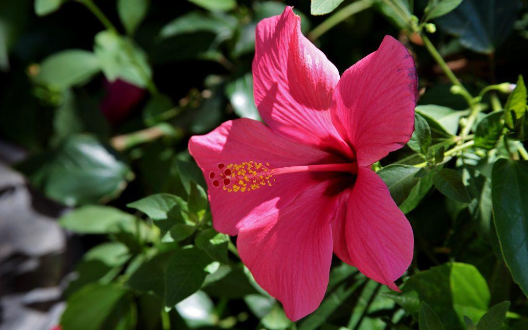 Hibiscus, il tuo angolo di paradiso tropicale!